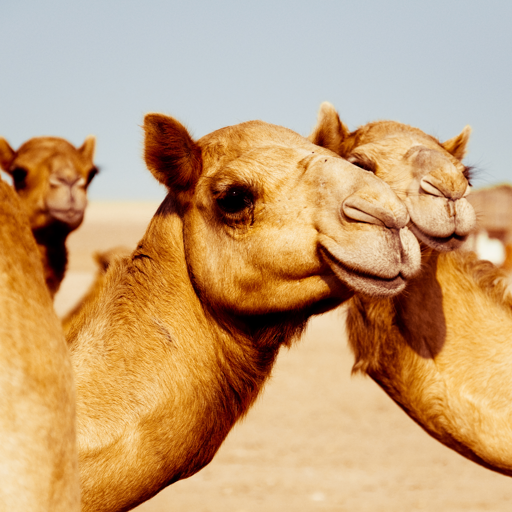 photo courtesy of Gettyimages-camels-maya