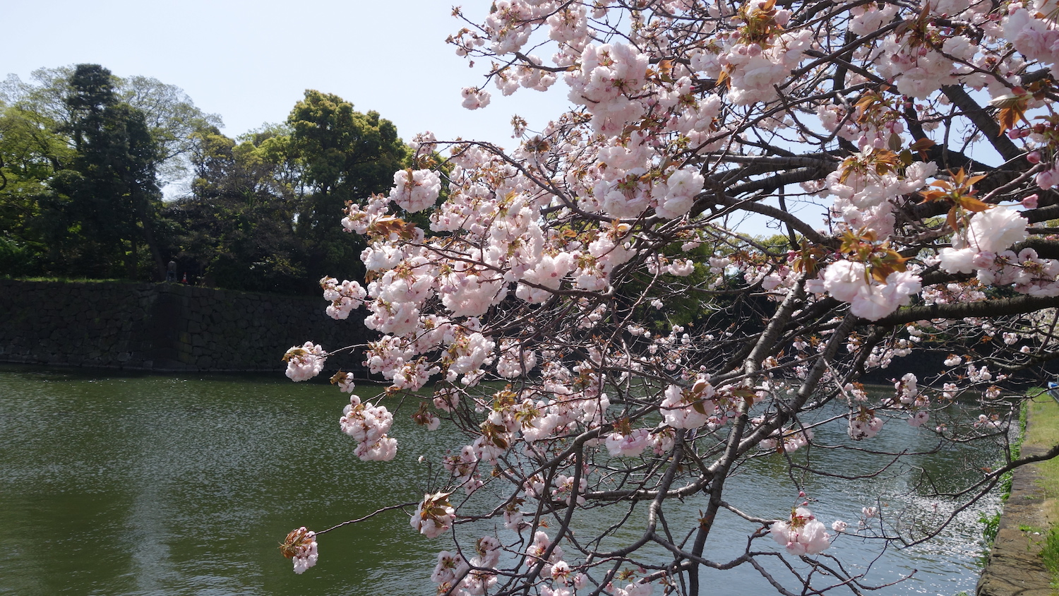 Tokyo- Blossoms3