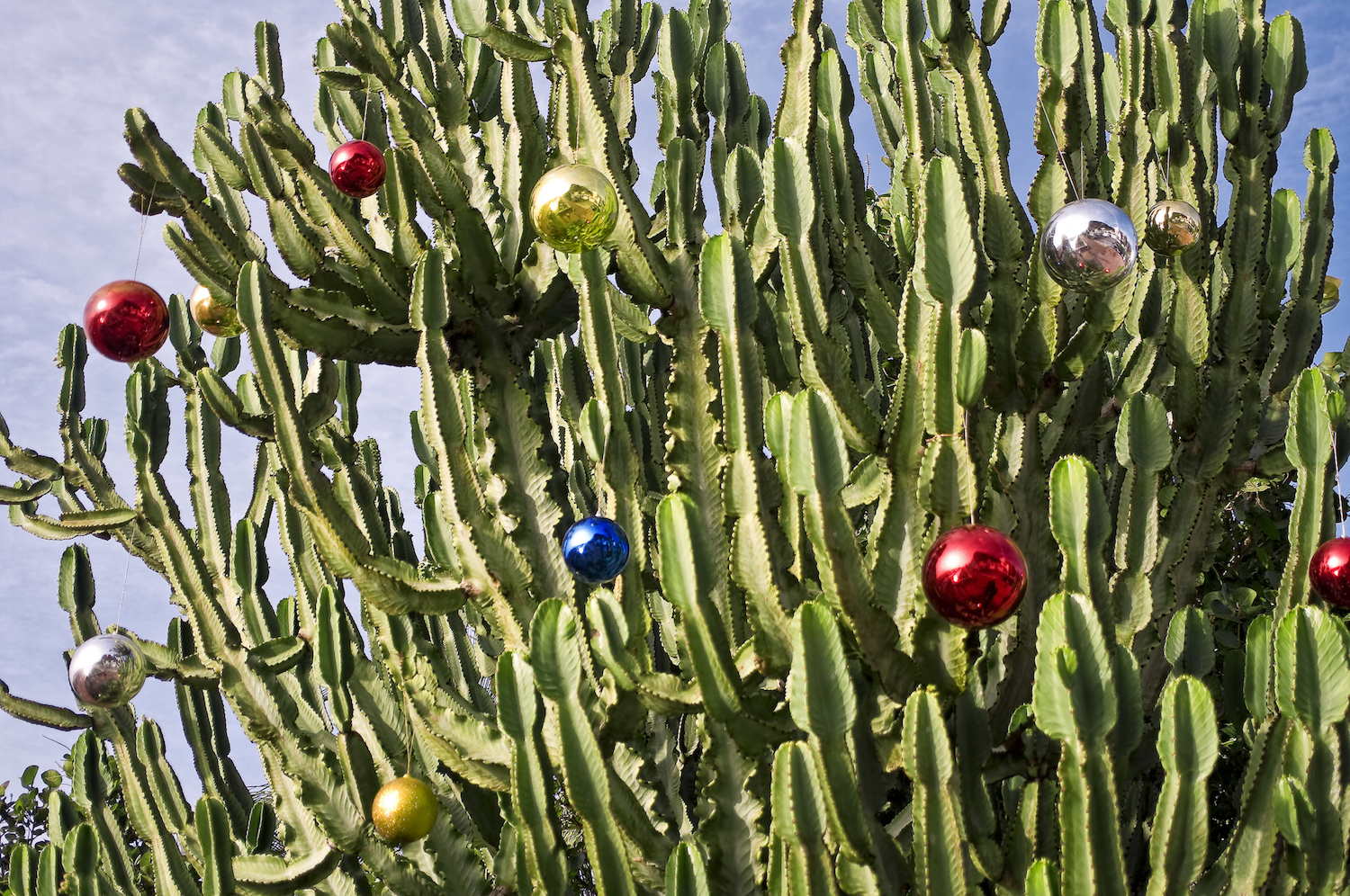 Cactus at la Gomera island with Christmas-tree decorations.