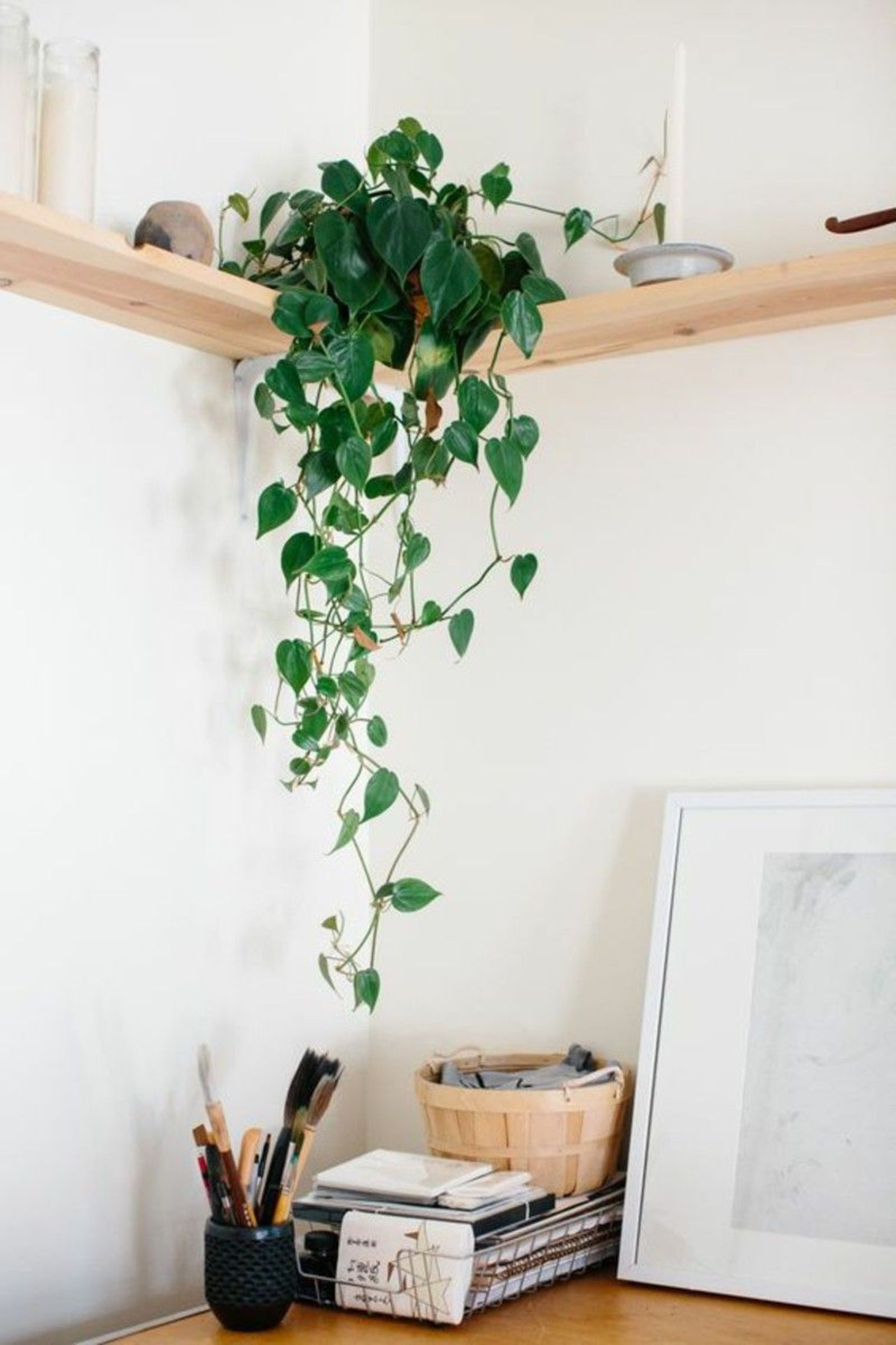 Indoor devils ivy house plant